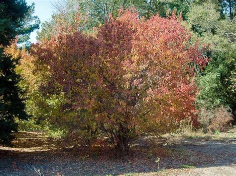 acer ginnala amur maple go botany
