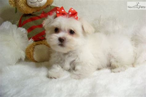 malshi puppies for sale in nc mal shi puppies breeders malshi puppy breeds picture