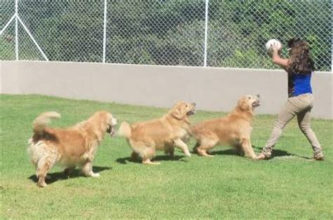 canil golden retriever canil anjos do orypaba golden retriever cachorros animais de estima 231 227 o