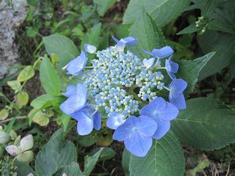 pruning hydrangea varieties hydrangea care tips the old farmer s almanac