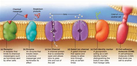 cell membrane plasma membrane structure function