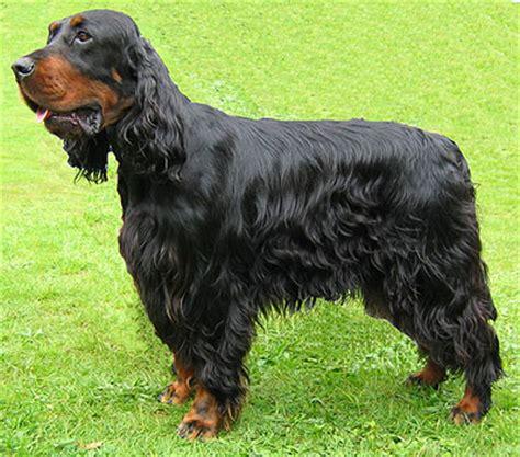 gordon setter guard dog gordon setter dog sporting dog breeds online dog