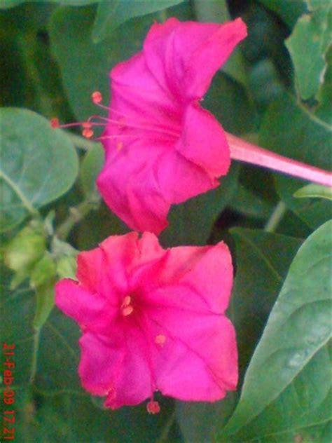 erfins blog biologi hubungan bunga pukul empat