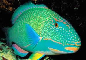 fish colors parrotfish