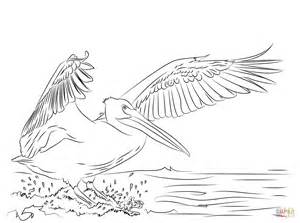 pelicans colors american white pelican landing coloring page free