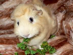 guinea pig guinea pigs wallpaper 15107232 fanpop