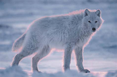 imagenes lobo blanco tercera eposha lobo blanco polar