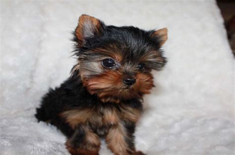 teacup yorkie characteristics 7 types of adorable yorkie puppies 187 teacupdogdaily