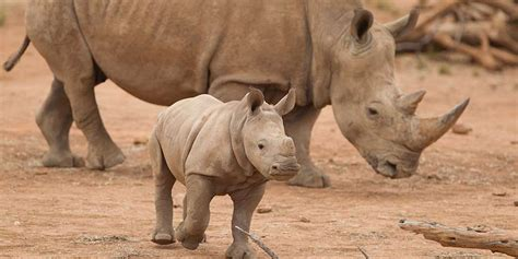 White Zoo southern white rhinoceros facts information monarto zoo