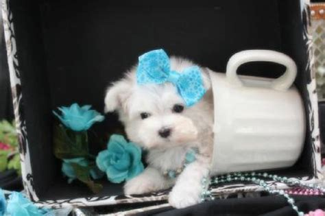 how to care for teacup yorkies how to care for teacup yorkie puppies teacup puppy care teacup yorkie feeding