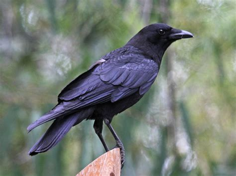 file american crow sandiego rwd jpg wikimedia commons