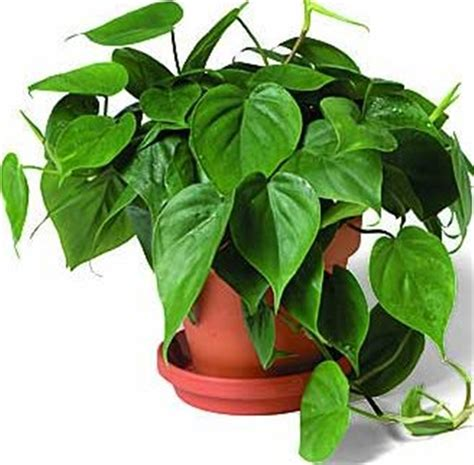 common house plants uk related keywords suggestions for houseplants pictures and names