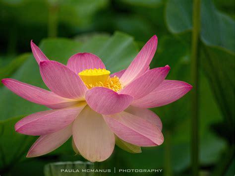 sacred lotus nelumbo pond adelaide