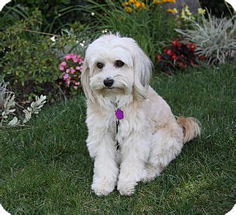 havanese and maltese mix marlow adopted newport ca havanese maltese mix