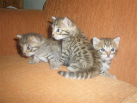 kucing bengal kaskus the largest community
