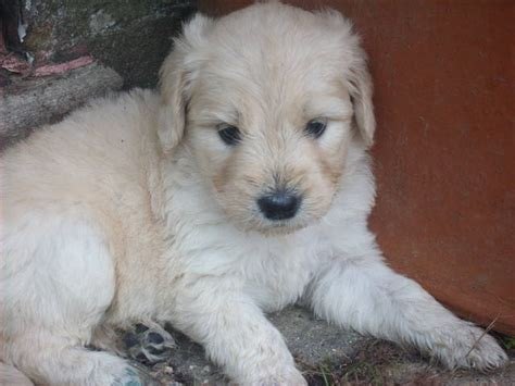 goldendoodle puppy rescue goldendoodle rescue dogs for adoption breeds picture