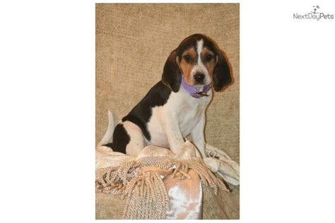 american foxhound puppies for sale near me american foxhound puppy for sale near dallas fort worth df2a0cd1 ae81