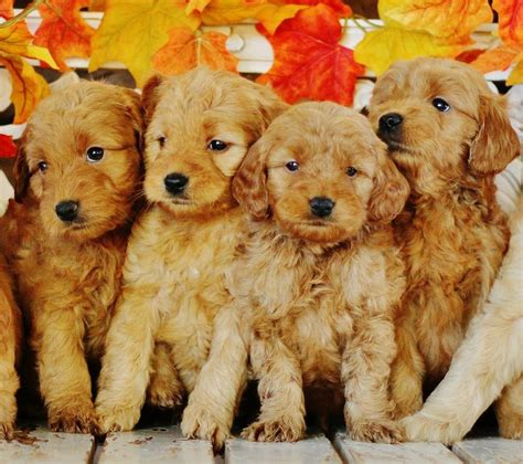 mini goldendoodles las vegas 17 best ideas about golden doodle mini on