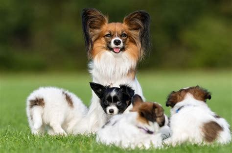 papillon puppy price papillon puppies for sale price list best papillon breeders websites