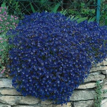 cascading blue rock cress seeds aubrieta seeds hybrida ground cover plants
