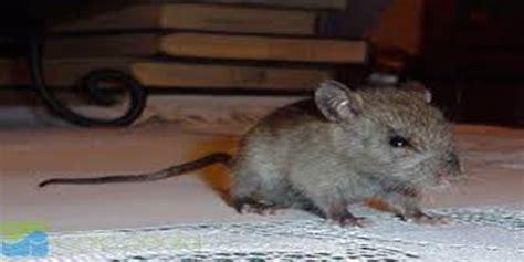 cara membuat virus sederhana jalan tikus 5 cara seperti ini sangat ampuh membuat tikus takut