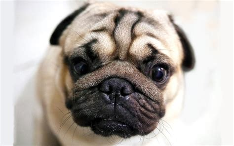 with wrinkled dogs with wrinkles a guide to caring for wrinkly dogs the happy puppy site