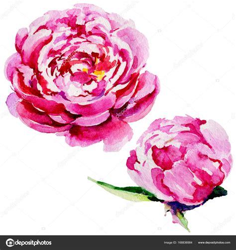 fiore di peonia fiore di peonia fiori selvatici in stile acquerello