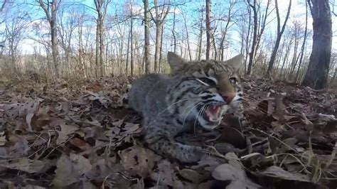 trapping  bobcat  footholds youtube