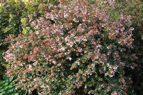 shrub flowers abelia x grandiflora landscape architect s pages