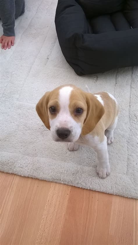 lemon beagle puppies for sale lemon and white beagle puppy for sale lancashire pets4homes
