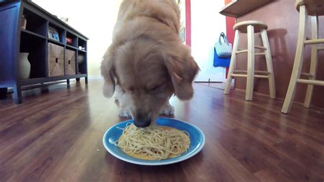 golden retriever spaghetti how fast can a golden retriever eat spaghetti