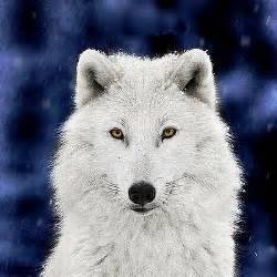 wolf with silver wolf pl4et