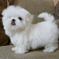 maltese puppies for sale in indiana 17 best ideas about teacup maltese puppies on ortiz