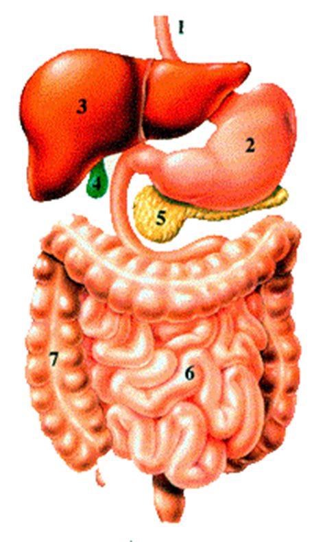 organi interni corpo umano lato destro gli organi corpo umano images