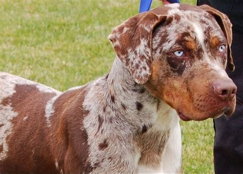 catahoula puppies for sale in louisiana pin by kathy on furniture to be purchased leopard and