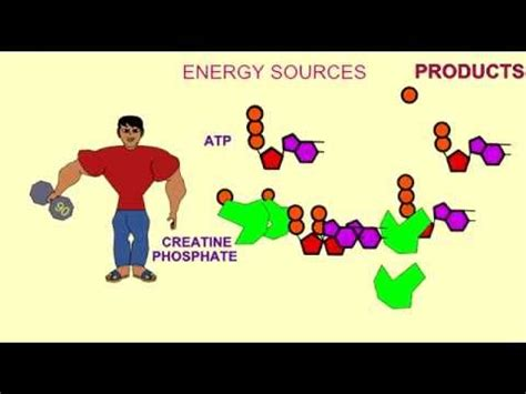 creatine sources energy sources for atp creatine phosphate