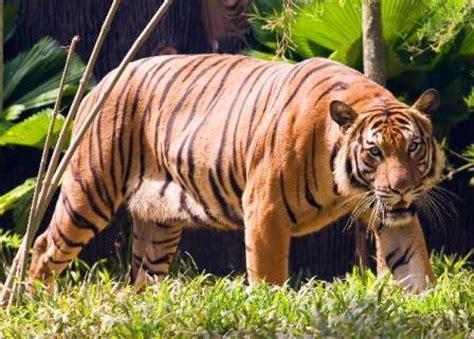 Estructura social de los tigres » TIGREPEDIA