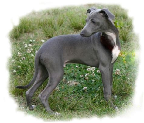 mini greyhound puppies italian greyhounds puppies available from chrisri breeder of breeds picture