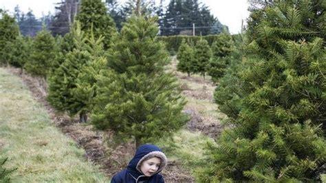 christmas trees bellingham wa local farms offer u cut we cut trees the bellingham herald