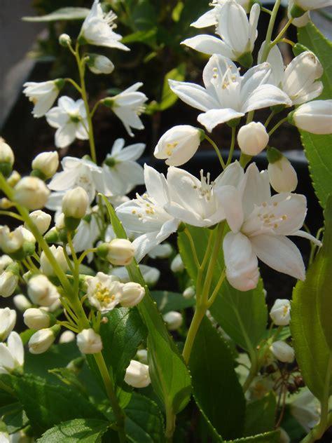 Fleurs Odorantes Pour Balcon by Quel Arbuste Mettre En Plein Soleil
