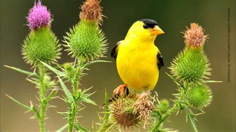 american goldfinch song youtube