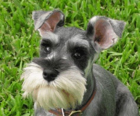 puppy with mustache breeds with goatees beards and mustaches