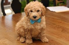 goldendoodle puppy orange county 1000 images about mini goldendoodles 2015 on