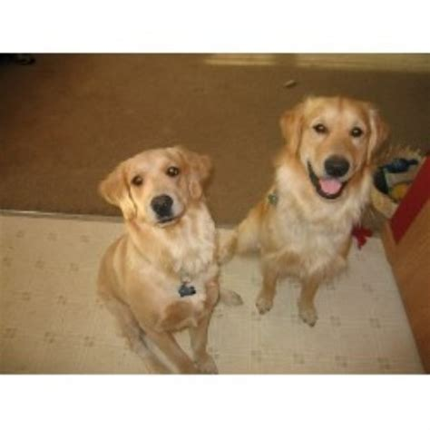 golden retriever breeders columbus ohio breeders ohio html autos weblog