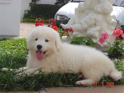 kuvasz puppy kuvasz breed guide learn about the kuvasz