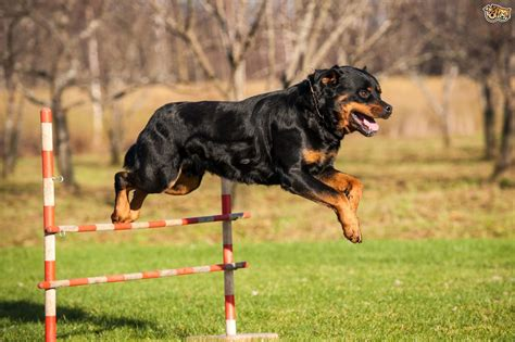 rottweiler breed info rottweiler breed information buying advice photos and facts pets4homes