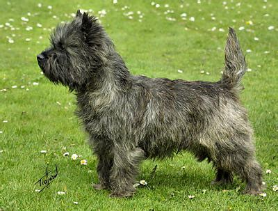 brindle cairn haircut cairn terrier