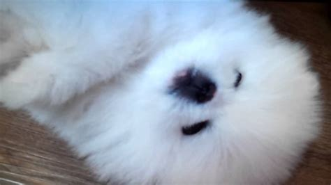 teacup pomeranian puppies for sale 250 micro teacup pomeranian puppies for sale