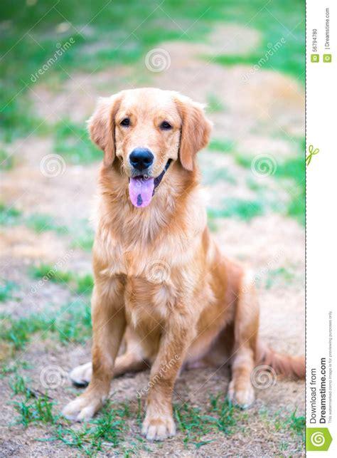 adopt golden retriever puppy los angeles golden retriever a los 6 meses photo