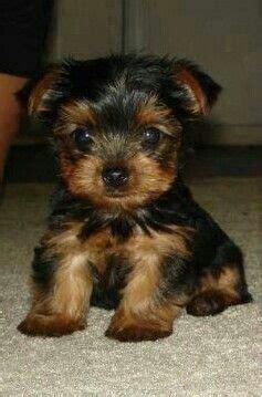 yorkies for sale in virginia va terrier puppies for sale virginia boulevard va 200156